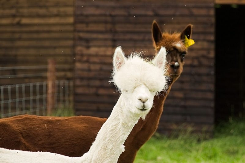 Llamas at home at Windmill Farm